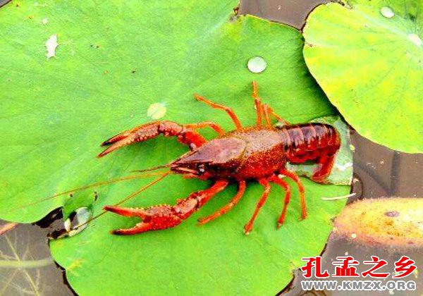 """<b>鱼台获评""""中国生态龙虾之乡""""</b>"""