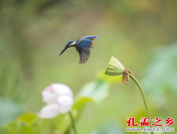 李雪芳的翠鸟摄影